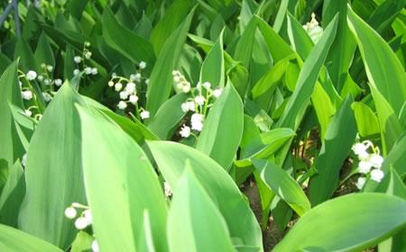 すずらんの園(おもつぼ湿原)